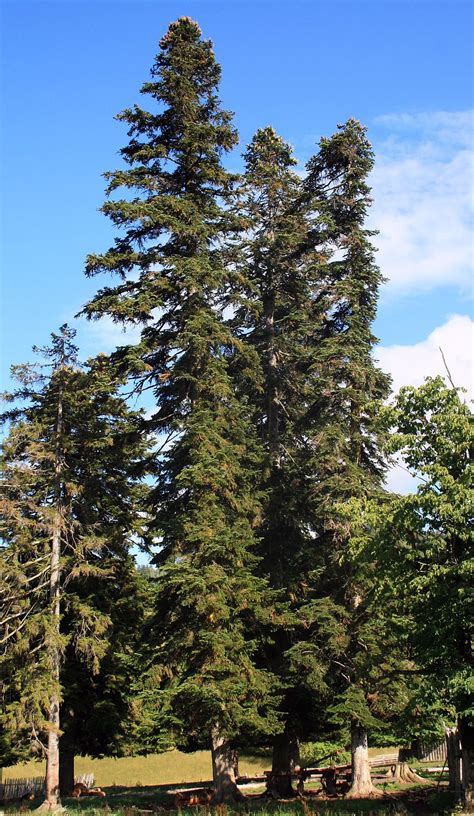 Abies nordmanniana - Wikispecies