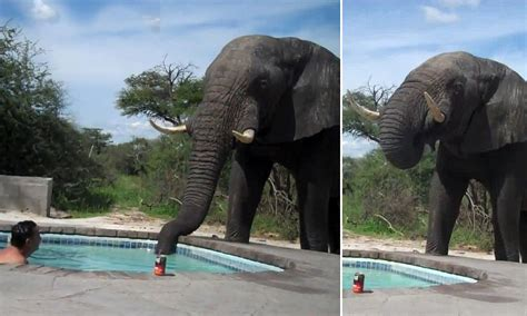 The biggest swimming trunks ever: Elephant drinks from a