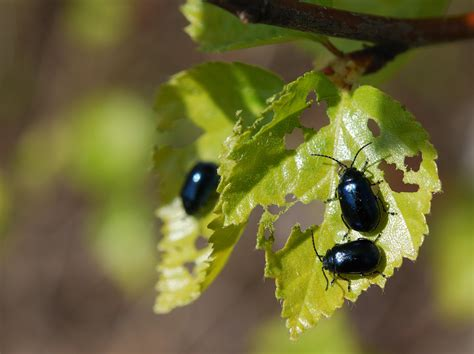 Insects on birch: external feeders