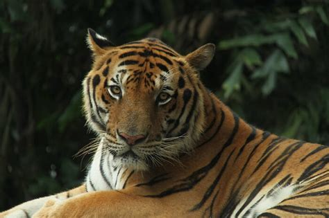 Tiger Names: 500 Best Names for Tigers - Webhouse Asia