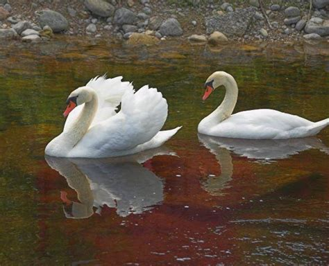 Protesters flock together to stop swan killing in New York
