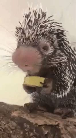 Porcupine GIFs - Find & Share on GIPHY